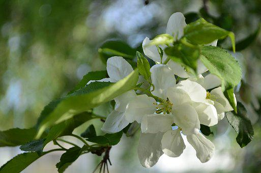 Apple Tree, Blooms, Blooming Apple Tree, Bloom
