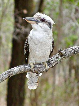 Kookaburra, Bird, Australian, Kingfisher, National