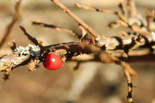 Fruits, Autumn, Red Fruits, Shrub, Darts, A Branch