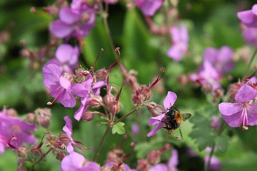 Bee, Geranium, Nature, Bees, Garden, Bug, Purple