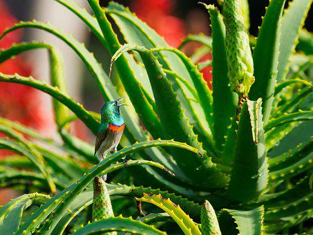 Southern Double-collared Sunbird, Bird, Male, Plant