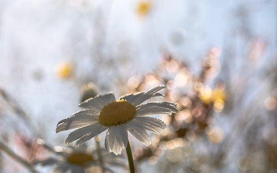 Daisies, Leucanthemum Maximum, Flowers, Blossom, Bloom