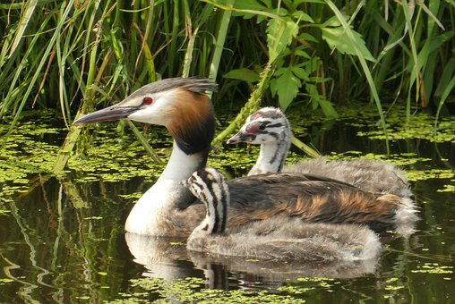 Great Crested Grebe With Young Boy, Water Birds, Boy