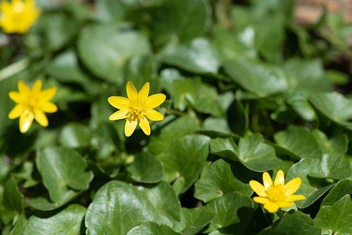 Celandine, Yellow, Yellow Flowers, Flowers