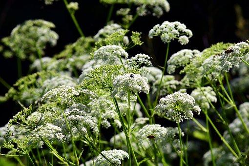 Cow Parsley, Hemlock, Chervil, White, Grassland Plants