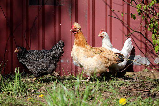Chickens, Three, Colorful, Sulmtaler, Farm, Free Range