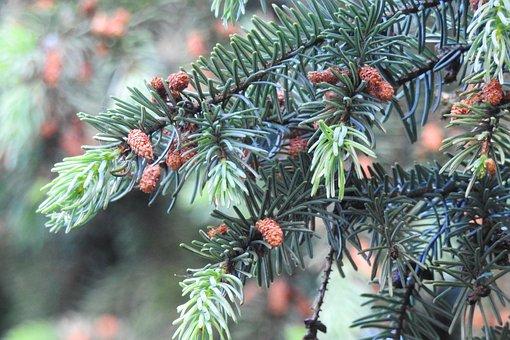 Silver Spruce, Cones, Sprig, Spruce, Tree, Coniferous