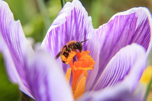 Wasp, Crocus, Purple Flower, Pollen, Spring Flower