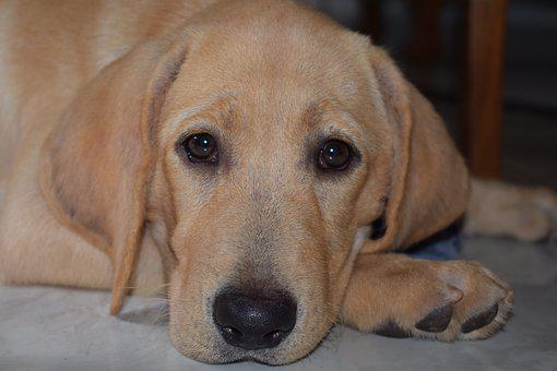 Puppy, Dog, Labrador, Cute, Pet, Adorable, Canine