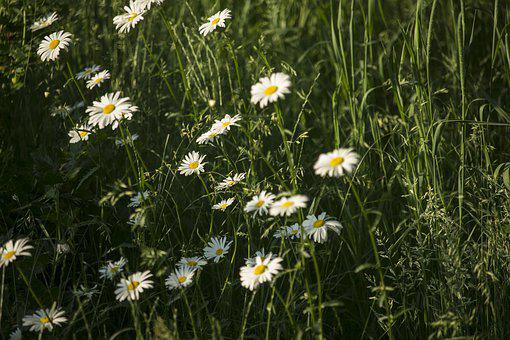 Summer, Daisies, Flowers, Nature, Plant, Summer Plants