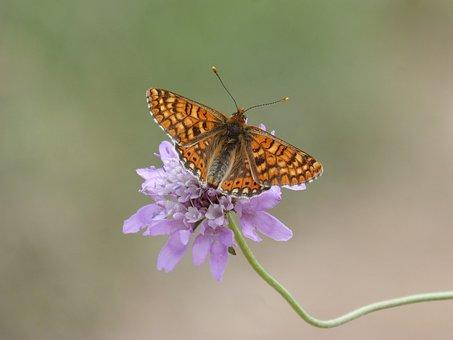 Butterfly, Damero Knapweed, Melitaea Phoebe