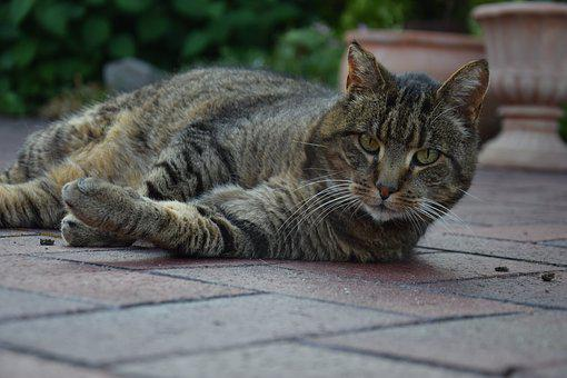 Cat, Relaxed, Velvet Paw, Pet, Cat Is, Domestic Cat