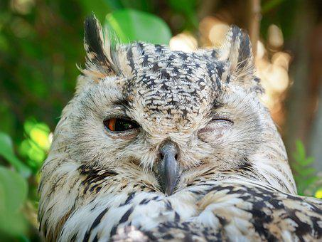 Bengal Eagle Owl, Owl, Bird, Animal, Nature, Eagle
