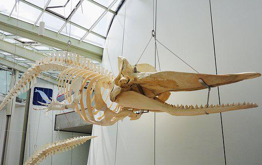 Whale Skeleton, Hanging, Exhibition, Ozeaneum