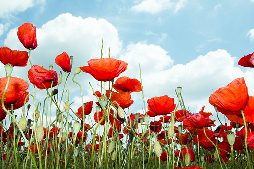 Fake Poppy, Red, Wild, Wild Flower, Field, Poppy