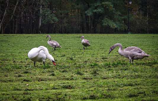 A Flock Of Swans, Family, Mute Swan, Young, Gray, Bird