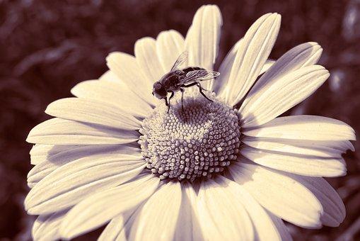 Bee, Insect, Animal, Feeding, Ox-eye Daisy, Flower
