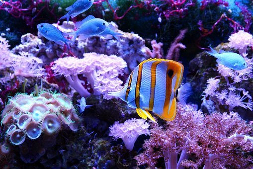 Butterfly Fish, Chelmon Rostratus, Tweezers, Fish