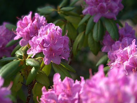 Rhododendron, Flower, Blossom, Bloom, Plant