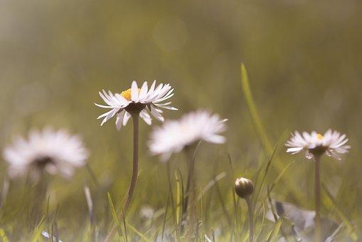 Daisy, Flower, Pointed Flower, White, White Flower