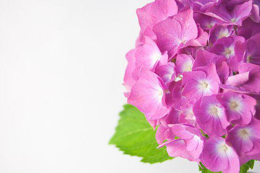 Flower, Hydrangea, Vase, Green, Violet, Rosa, Furniture