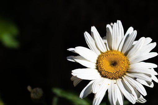 Daisy, Flower, Nature, Plant, Spring, Yellow, White