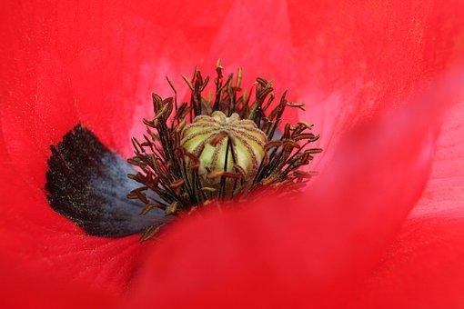 Poppy, Flower, Close Up, Summer, Red