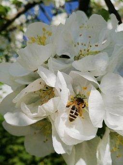 Spring, Blooming Apple Tree, Apple Tree, Flowers