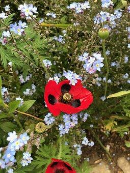 Poppy, Forget My Not, Blue, Flowers, Grassland Plants