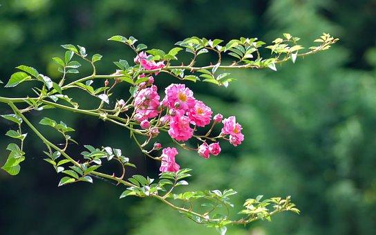 Rosebush, Pink, Flower, Pink Rose, Branch, Garden