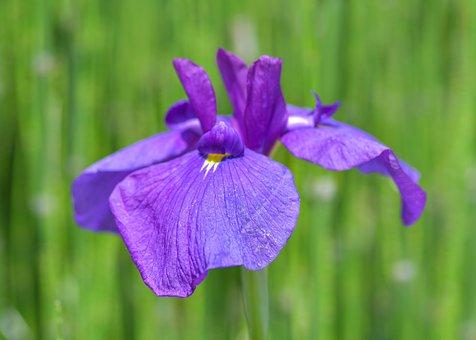 Iris, Flower, Violet, Green, Plant, Garden, Macro