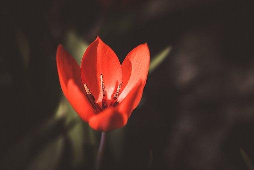 Tulip, Small Tulip, Red, Red Tulip, Garden
