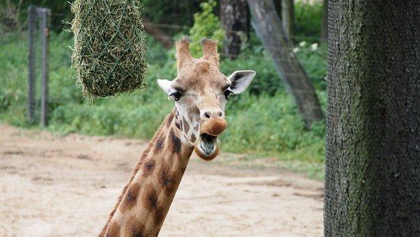 Giraffe, Zoo, Close, Summer, Safari, Animal, Head