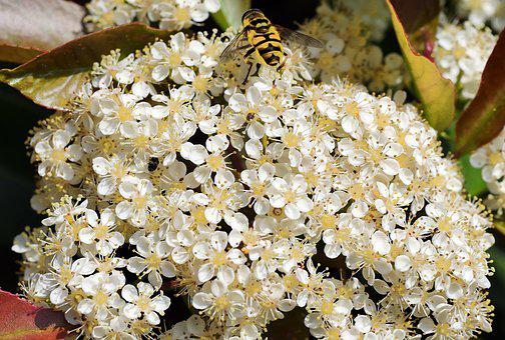 Blütenmeer, Gloss Medlar, Small Flowers, Hoverfly
