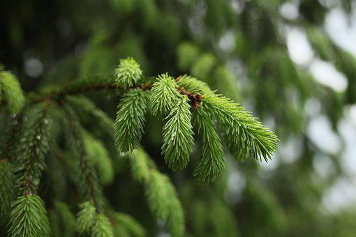 Spruce, Rain, Tree, Needles, Green, Raindrops, Bright