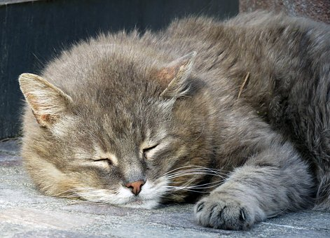 Cat, Pet, Sleep, Grey, Domestic Cat, Paw, Mackerel, Fur