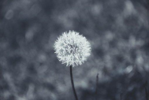 Dandelion, Plant, Nature, Flower, Fluffy, Light, Growth