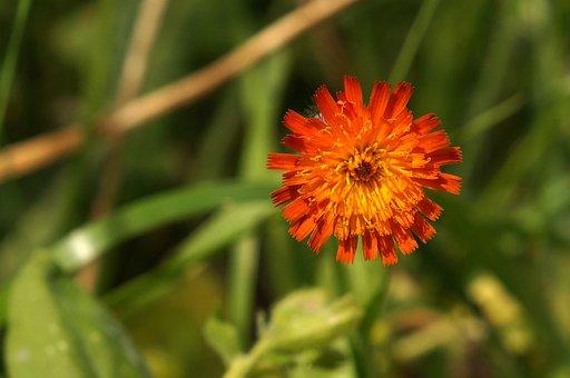 Hieracium Aurantiacum, Orange Red Hawkweed, Red, Orange