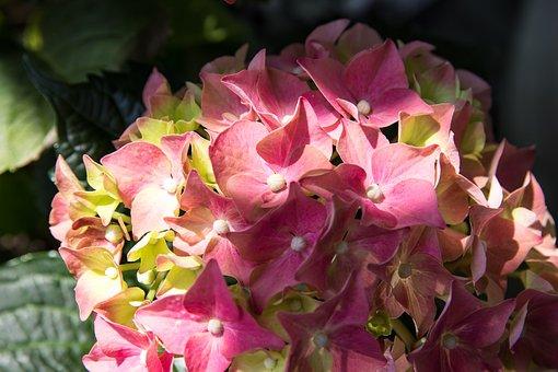 Hydrangea, Flower, Blossom, Bloom, Summer, Pink