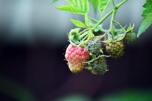 Raspberry, Fruit, Immature, Red, Green, Healthy