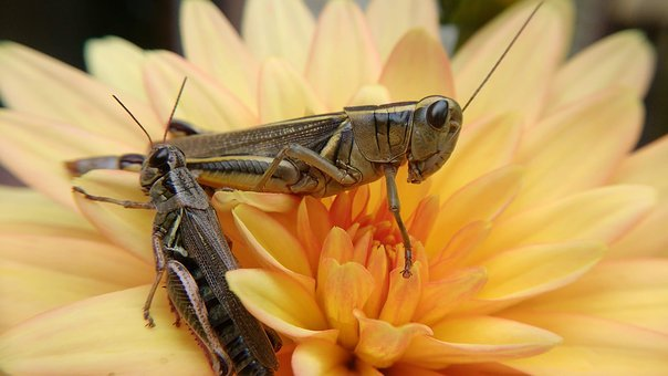 Grasshopper, Insect, Flower, Bug, Nature, Animal