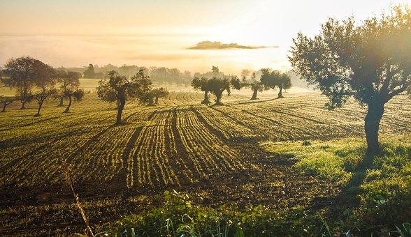 Olive Grove, Olive, Castelfidardo, Italy, Green