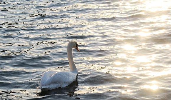 Swan, Water Bird, Nature, Animal, Sea, Lake, Water