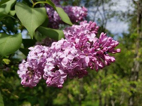 Lilac Bloom, Lilac, Lilacs, Lilac Tree, Lilac Bush
