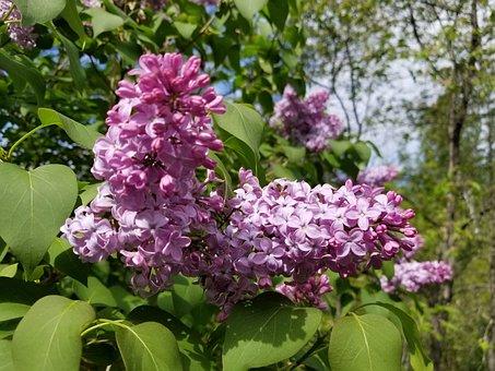Lilac, Lilacs, Lilac Tree, Lilac Bush, Flowers, Purple