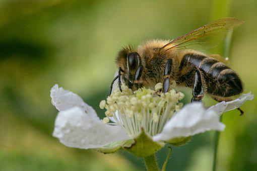 Bee, Insect, Close, Macro, Pollination, Honey Bee