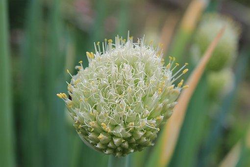 Stamens, Onion, Flowering Onion, Macro, Pollen