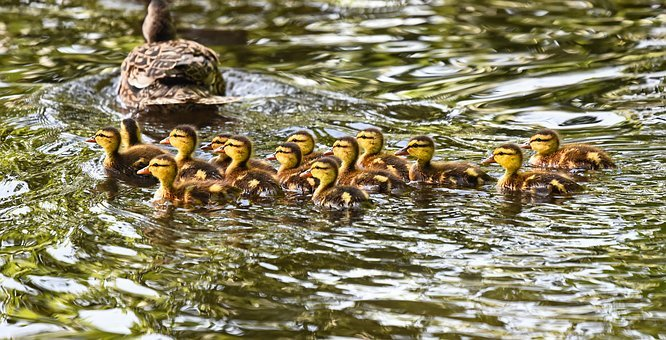 Duckling, Duck, Waterbird, Chick, Mallard Duckling