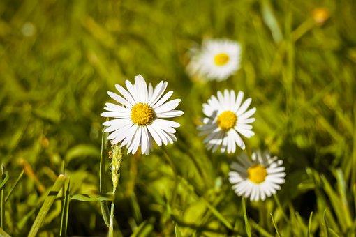 Meadow, Margarite, Flower, Summer, Spring, Bloom
