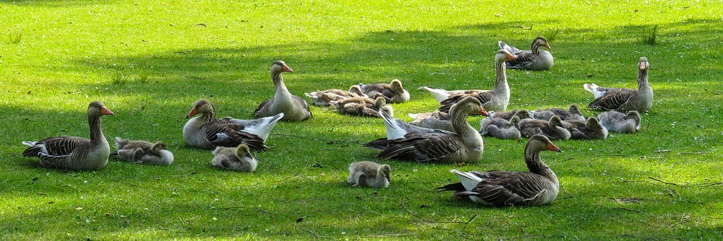 Animals, Nature, Geese, Chicks, Meadow, Goslings, Rest